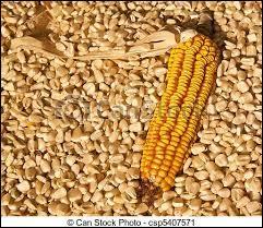 Le maïs sec est :