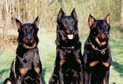 Les races de chiens (de A à Z)