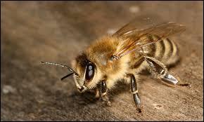 Est-ce une guêpe ou une abeille ?