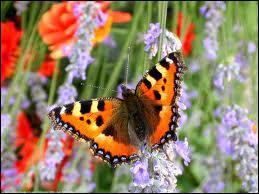 Combien de jours dure la transformation de la chenille en papillon ?