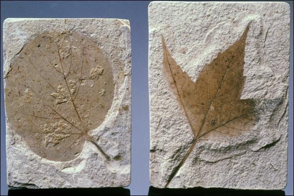 Une feuille peut se fossiliser