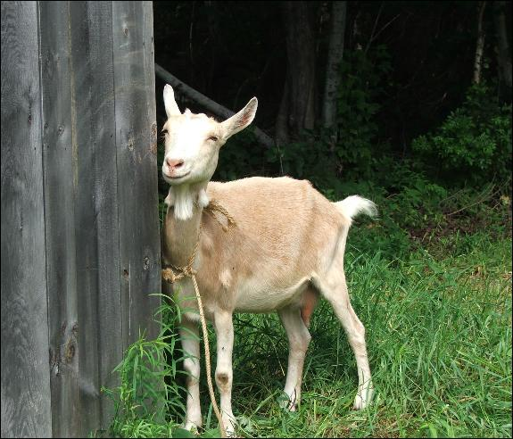 Comment s'appelle la chèvre de Prim ?