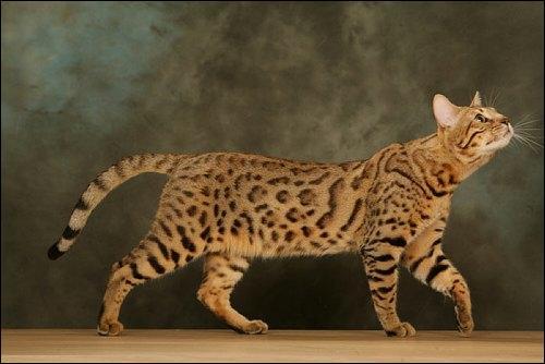Quelle race de chats est-ce ?