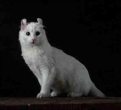 Les races de chats (de A à Z)
