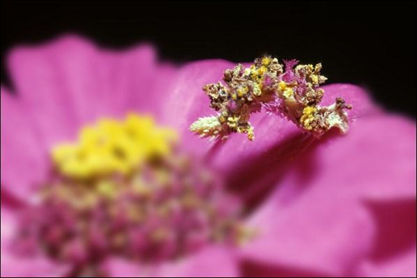 Capable de prendre l'exacte couleur des fleurs qu'elle dévore !