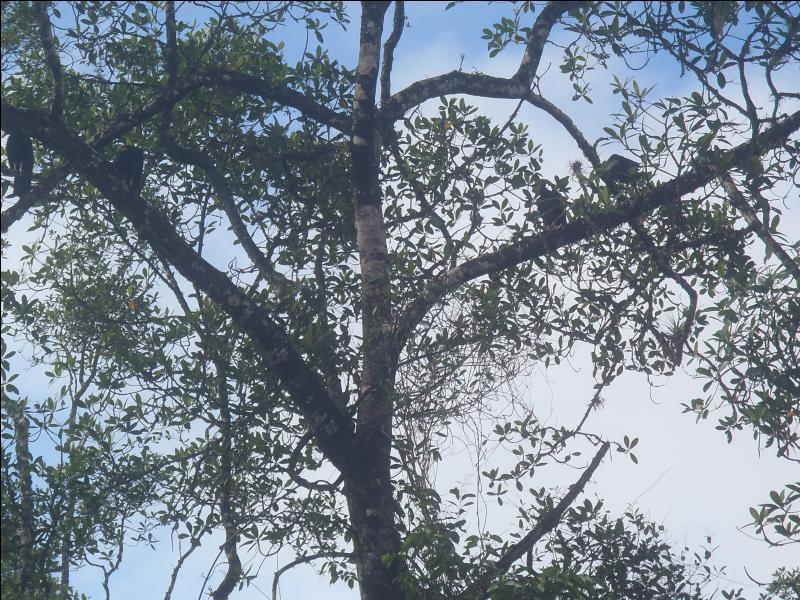 L'urubu est l'une des quelques espèces de vautours vivant en Amazonie, combien en comptez-vous sur la photo ?