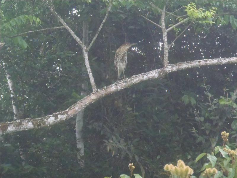 Cet échassier guyanais ressemble au butor de nos régions françaises, il s'agit donc d'une variété de ...