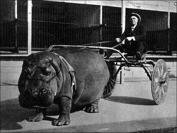 Pour se protéger du soleil, un hippopotame produit, sur sa peau, une sécrétion huileuse, de couleur ...