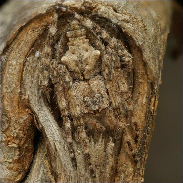 Ce n'est pas un insecte, mais cet animal est bien camouflé !