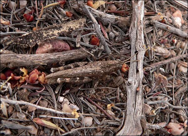 Cet insecte est également représenté par de nombreuses espèces, dans beaucoup de pays, en particulier en Afrique, il est considéré comme un fléau !