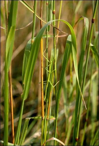 Ecartez doucement la végétation, et découvrez cet insecte étonnant !