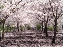 L'arbre symbolique du Japon est :
