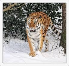 Combien peut peser un tigre de Sibérie ?