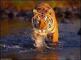 Le tigre déteste l'eau.