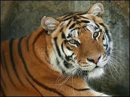 Combien de temps peut vivre un tigre ?