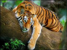 Le tigre vit plutôt :