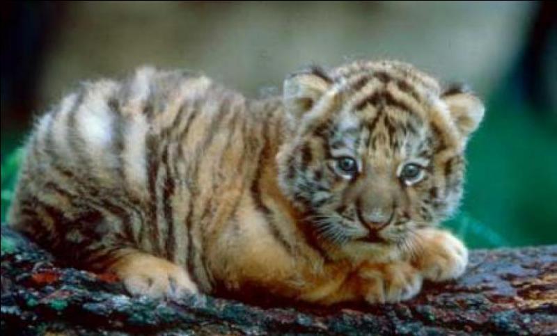 Combien de petits la tigresse peut-elle avoir en une seule portée ?