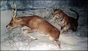 Le tigre chasse plutôt :