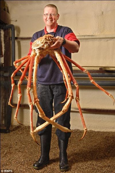 Cette photo est un truquage très bien réalisé, il est impossible qu'une araignée de mer atteigne cette taille !
