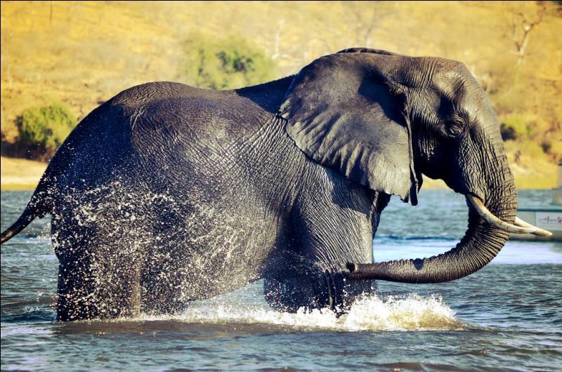 Comme vous pouvez le constater sur la photo, cet éléphant d'Asie adore prendre un bain !