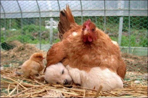 Quand a commencé la domestication de la poule (et du coq) ?