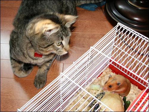 Laisser la cage ouverte n'est pas forcément une bonne idée, le chat pourrait bien être tenté par ...