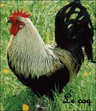 La poule peut pondre des oeufs même s'il n'y a pas de coq ...