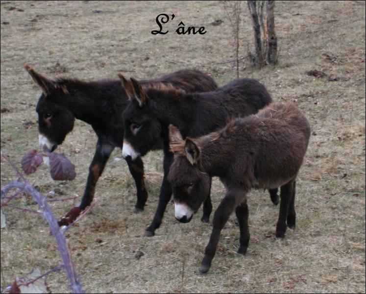 De quelle famille fait partie l'âne ?