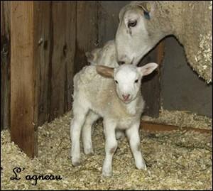 Comment s'appelle le papa de l'agneau ?