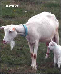 De quelle famille fait partie la chèvre ?