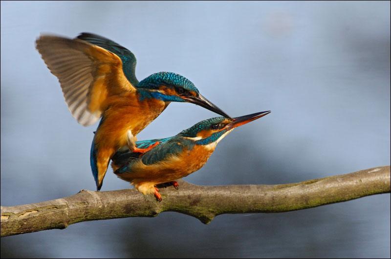 Deux petits oiseaux s'aimaient d'amour tendre !