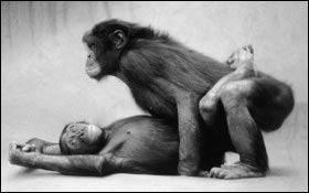 En dehors de l'homme, quel primate peut tenter  la position du missionnaire  ?