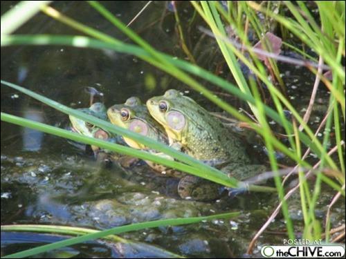 Sur la photo, vous voyez des grenouilles en train de copuler de façon classique, mais chez leur cousin, le crapaud accoucheur, le mâle ne fait pas les choses comme tout le monde !