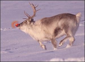 Apparu en 1939, le renne au nez rouge s'appelle Rudolphe !