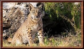 Quizz les lynx quiz felins - Jusqu a quel age peut on emprunter ...