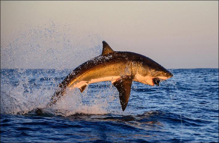 Citation de Pierre Desproges : On reconnaît le rouquin aux cheveux du père et le requin ...