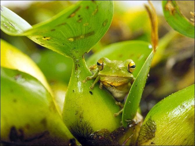 C'est la seule salamandre arboricole connue dans le monde !