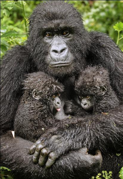 Là, vous ne pouvez pas vous tromper, ce sont bien des chimpanzés !