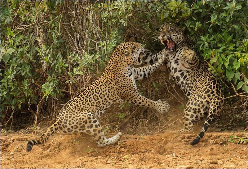 Sur cette photo, deux jaguars ne sont pas, mais alors pas du tout d'accord !