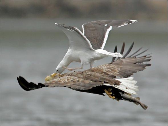 Manifestement, un goéland a décidé de faire de l'auto-stop sur un aigle !