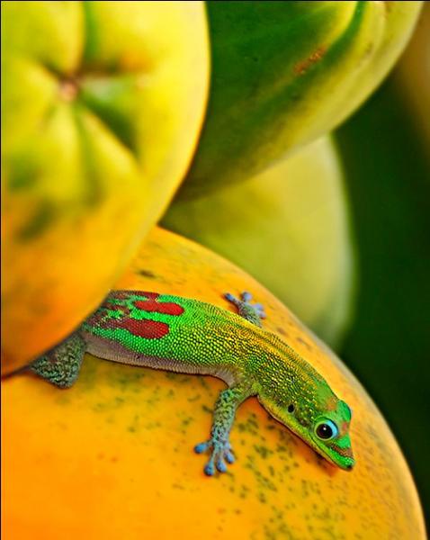Les pattes de ce lézard sont caractéristiques, il s'agit bien d'un gecko !