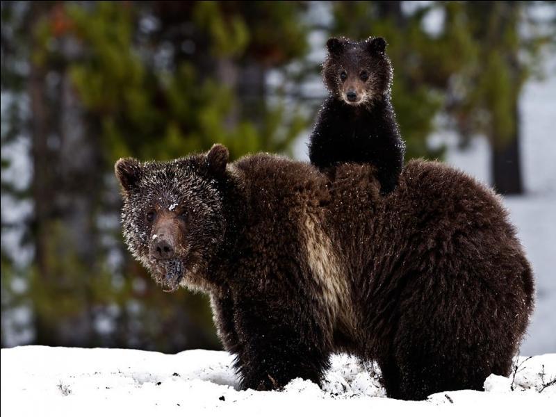 Le grizzly, avec l'ours kodiak, est le plus grand et le plus puissant des ours bruns, il est à 90% végétarien !