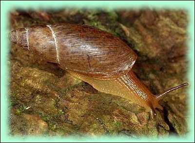 Tout comme les chenilles, tous les escargots terrestres sont végétariens !