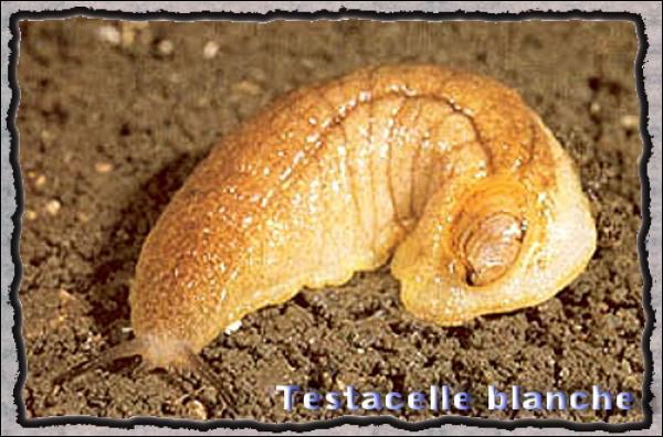 Comme vous le savez certainement, les limaces n'ont pas de coquille comme les escargots !
