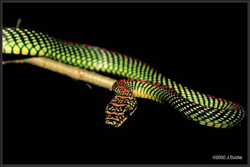 Sur l'île de Bornéo, ce serpent appelé  serpent volant du Paradis  est capable de planer sur plus d'un kilomètre !