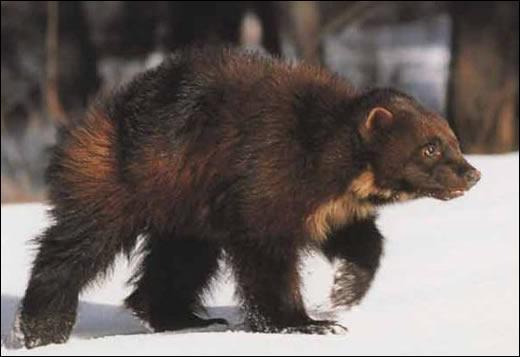 Animaux - Quel mammifère omnivore a été baptisé en référence à sa voracité ?