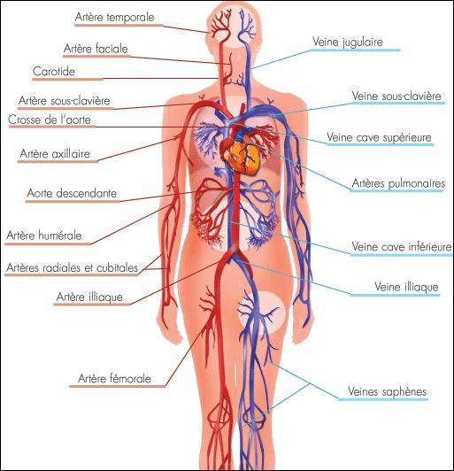 Science - Quelle quantité de sang circule dans le corps d'un homme normalement constitué ?