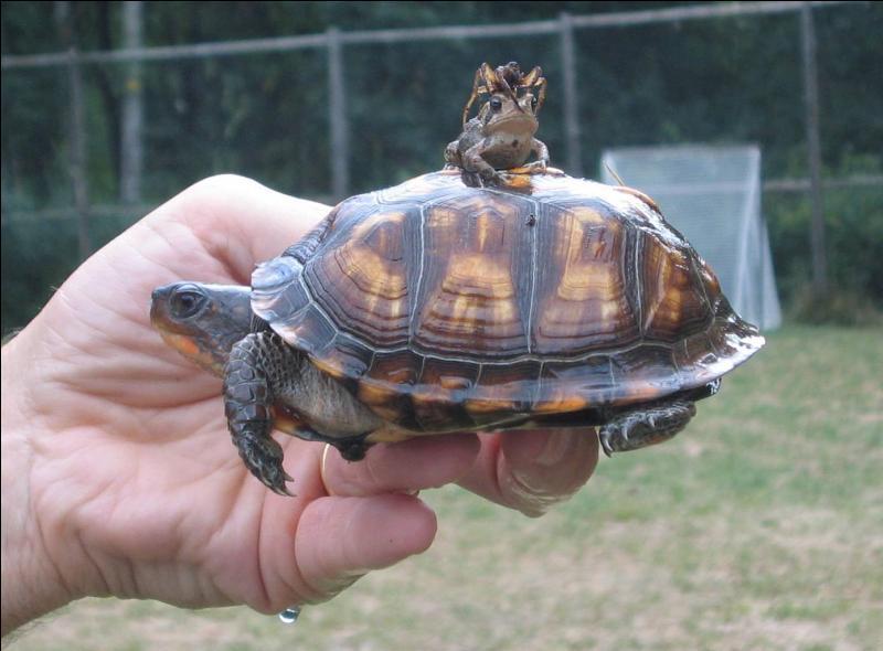 Certaines grenouilles sont des parasites de la tortue !
