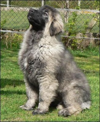 Quel est le nom de cette race de chien, qui est l'animal national de la République de Macédoine ?