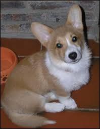 Le plus connu des canidés est évidement le chien. Connaissez-vous celui-ci ? C'est le chien préféré de la reine d'Angleterre , d'ailleurs elle en possède huit. Qui est-il ?